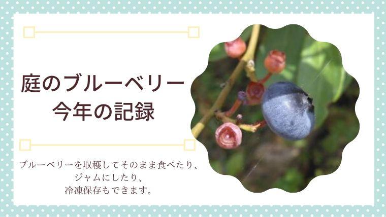庭のブルーベリー収穫